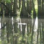 A large gator that came by while we were in the cypress filled creek.