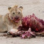 A lion (with zebra) in Serengeti