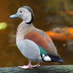 Another exotic duck.