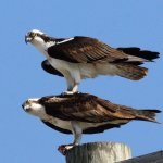 Ospreys on the lookout for lunch! Photo by Bob Weiss.