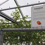 Habanero greenhouse