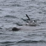Basking Shark feeding off the Isle of Coll
