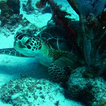 More Green Turtle
