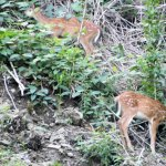 Two fawns eating near the tracks of the Inclined Plane.