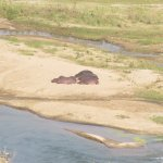 Hippos on the Olifants River