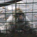 le singe magot bien triste