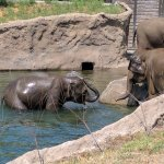 Elephant family cooling off from August heat!