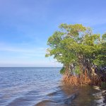 Red Mangroves lining the bay