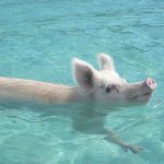 Swimming Pigs on Big Major Cay