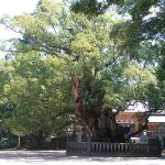 An old camphor tree was planted by Prince Ochi (?-?), who led an advance troop of Iware's main b