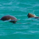 Dugongs spotted from Shore Thing.