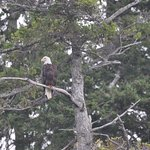 Eagle off of Lady Rose Boat Tour