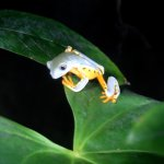 rainette jaune endémique du Costa Rica