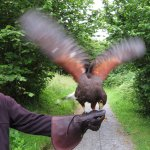 Juan, a 6-year-old Harris hawk, gets a snack at the Birds of Prey Burren