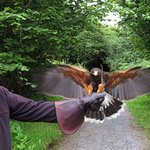 Juan, a 6-year-old Harris hawk, comes in for a landing at the Birds of Prey Burren