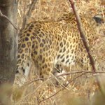 leopard with very good zoom lens
