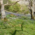 Bluebell season - pretty or what?