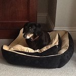 Desmond the miniature dachshund in his appropriately colour coordinated dog bed which was suppli