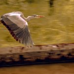 A lovely Heron flying past us.
