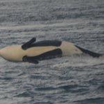 Transient orca!!