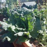 Kale from the garden