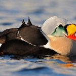 Our name sake, The King Eider Duck