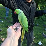 Ring necked parakeets Hyde Park
