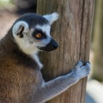 Be sure to add a hand-feeding lemur experience to your day!