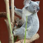 Koala mom and baby in the nursery.