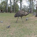 Emu with the bird squad.