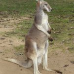 Kangaroo saying hi.