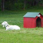 cute goat...