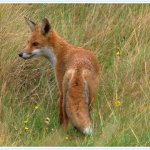 fox (from meon shore)