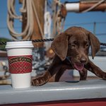 Just before we left the docks, along comes a beautiful Chocolate lab puppy that loves his coffee