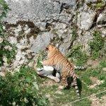 bébés tigres qui jouent