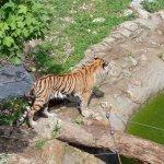 bébé tigre