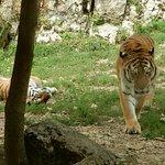 papa et maman tigres