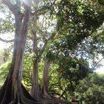 Moreton Bay Figs (Jurassic park trees)