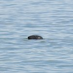 One of the many grey-eyed seals we that came in with the tide!