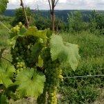 Rkat vines