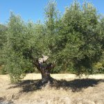fabulous old olive trees all over the property