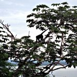 Another spider monkey outside my room.
