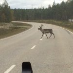 Beware of Reindeer crossing while driving