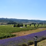 Lavender fields around the vineyards