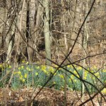 Daffodils in the back country