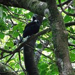 Tui Bird in the Trees along the Waipiro Bush Walk