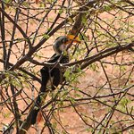 Hornbill hanging out near dining area