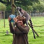 A ring-tailed lemur enjoying a doing selfie