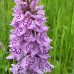 Common Spotted Orchid at Close Sartfield by Dawn Dickens