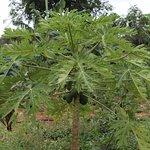 Papayas from the garden